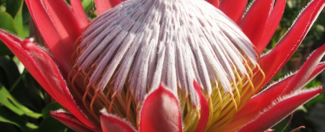 protea-piante dall'altro mondo