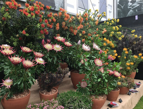 Silver Gilt Medal for Flora Toscana at the Chelsea Flower Show 2016
