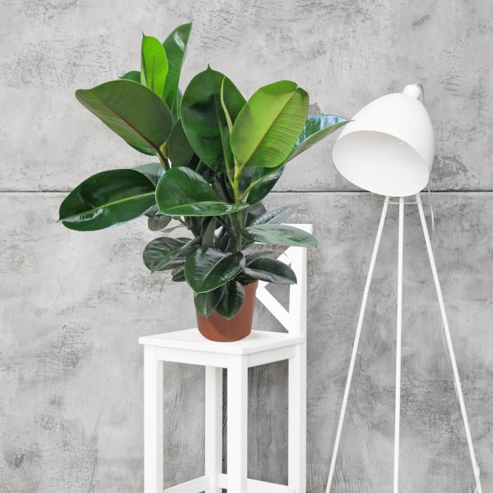 Ficus robusta ambientata