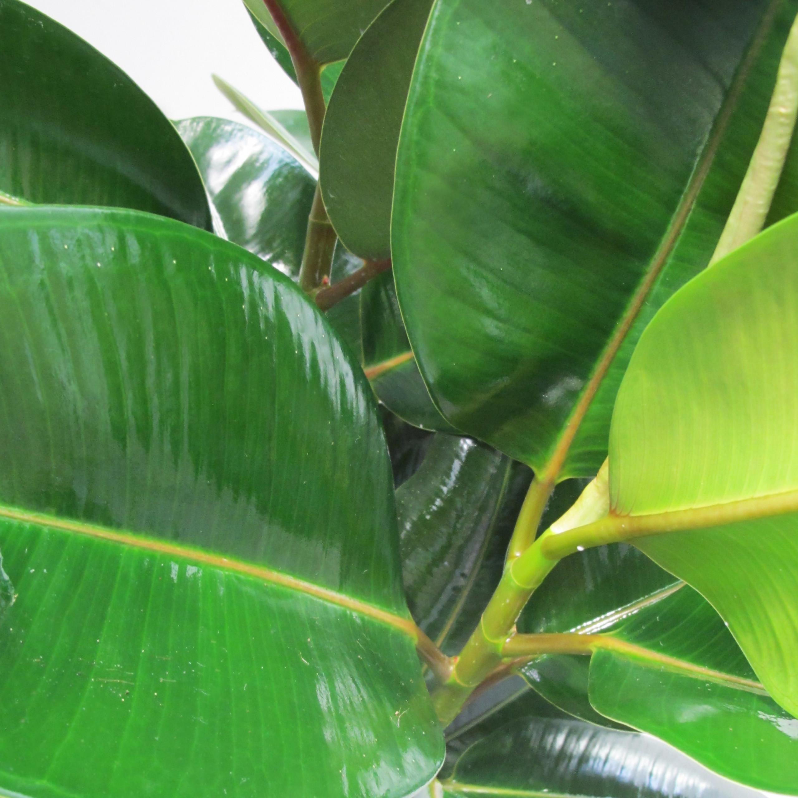 Ficus robusta particolare
