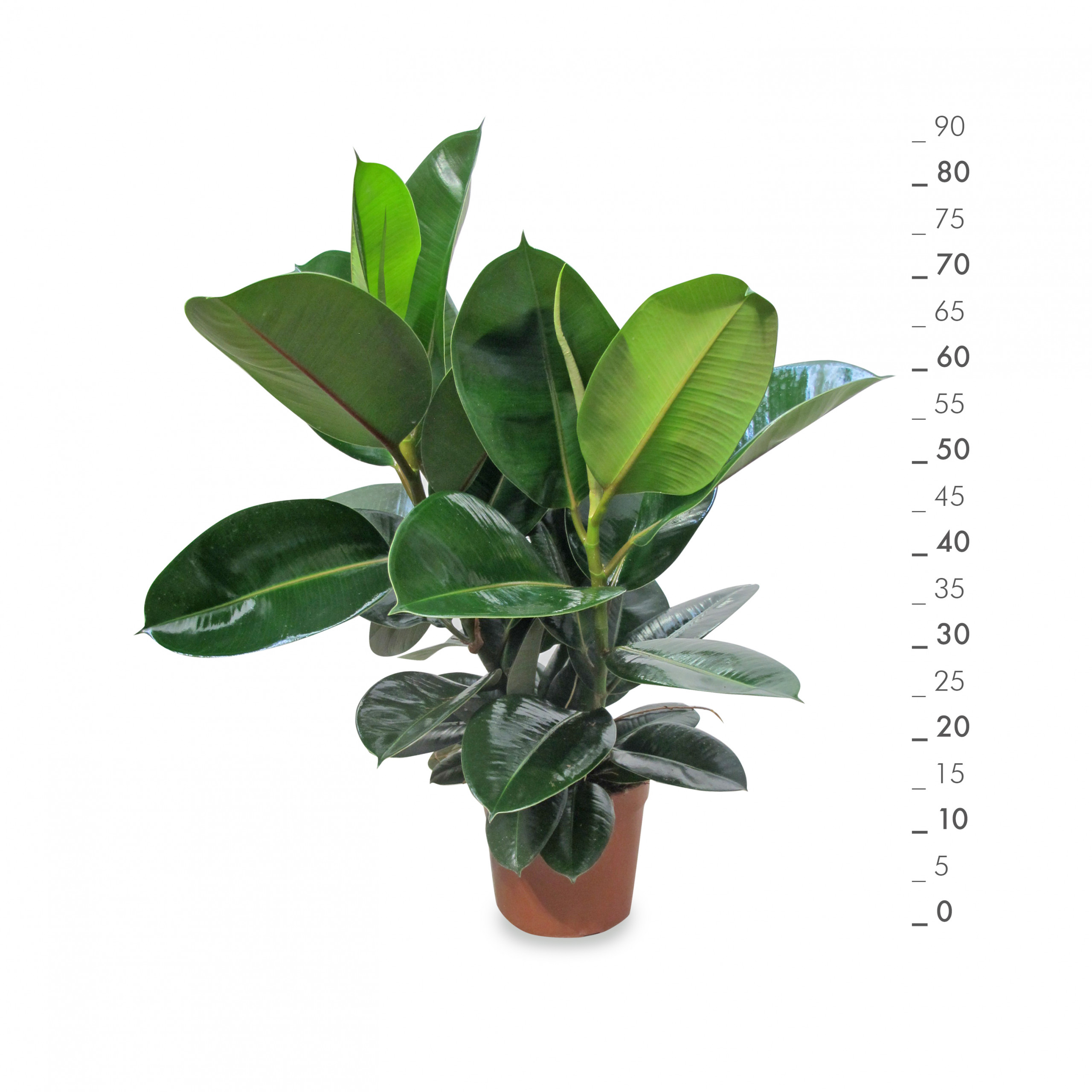 Ficus robusta con metro