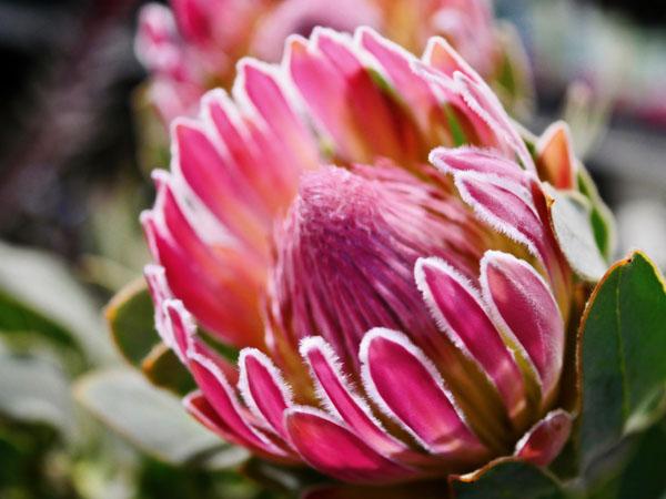 protea Compacta-Flora Toscana